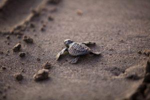 ウミガメの赤ちゃんが海にでる画像